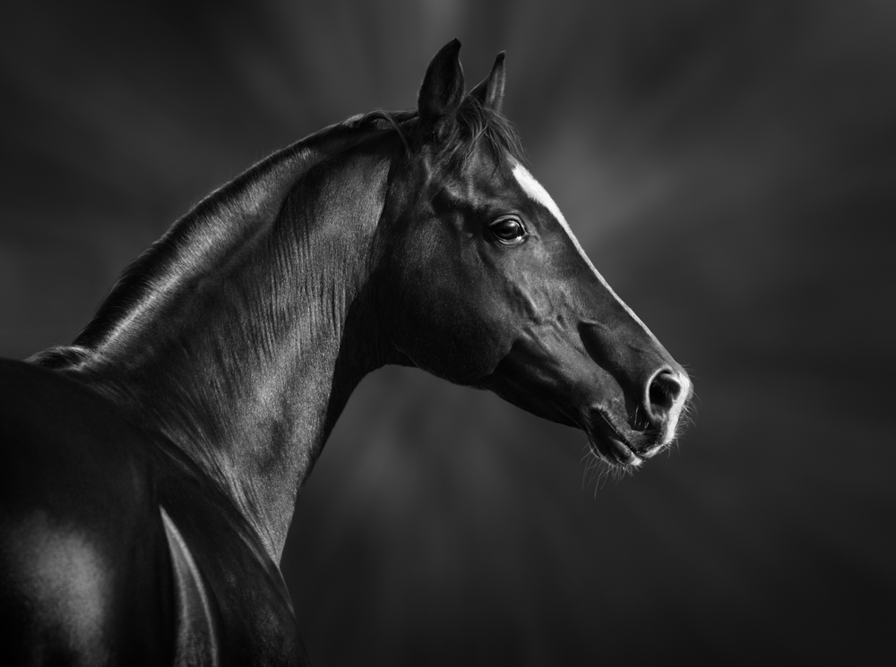Portrait of black Arabian horse | Image via Deposit Photos