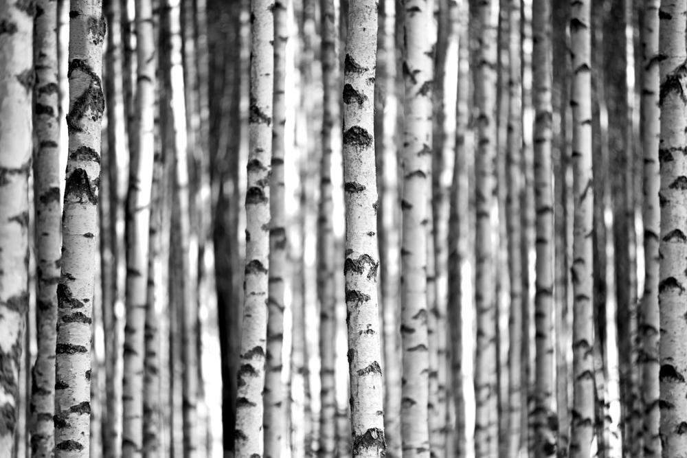 Birch Trees | Image via Deposit Photos