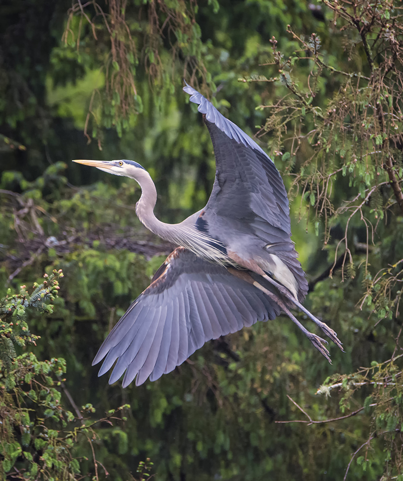 Gliding | After watching the heron rookery for a while, I noticed this particular bird kept flying from the nest to a specific spot in the trees and returning with sticks for its mate in the nest. Watching the behavior allowed me to anticipate when and where the bird would likely fly. Nikon D7100 with Tamron 150-600mm lens, 500mm, f7.1, 1/1250, ISO 3200.