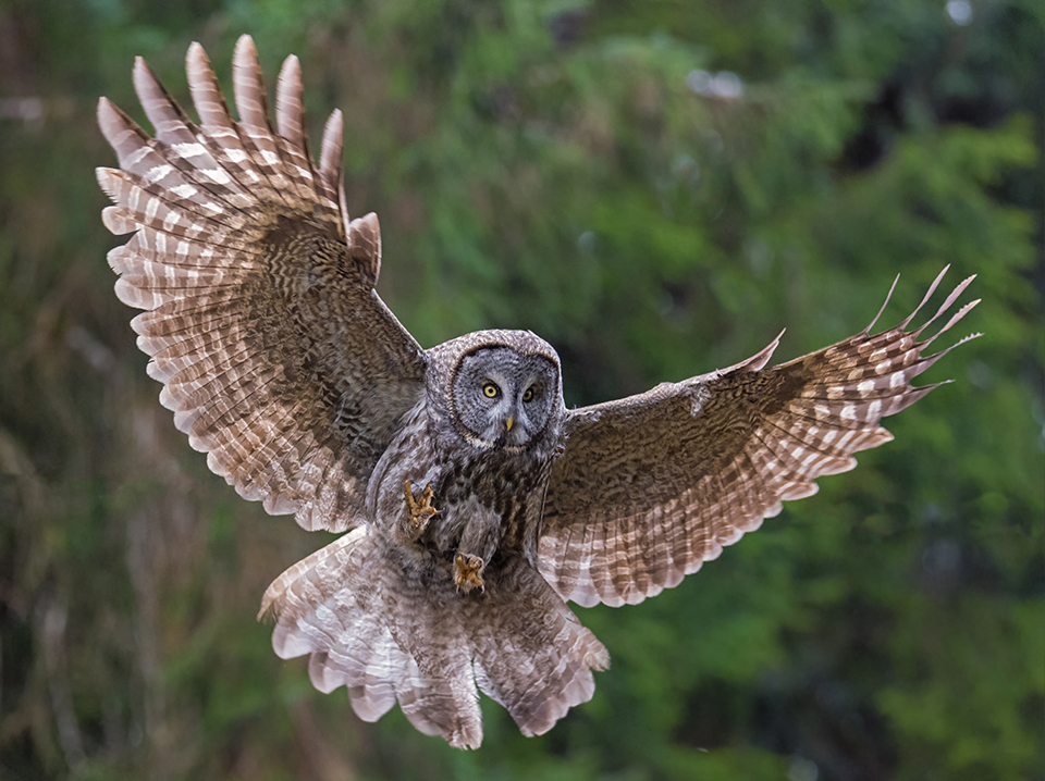 Great Gray Owl Swoop | On an overcast day in winter in the redwood forest, there is not much light. I had to push the ISO higher than normal to capture flight under these conditions. Nikon D800E with Tamron 150-600mm lens, 250mm, f6.3, 1/800, ISO 6400.