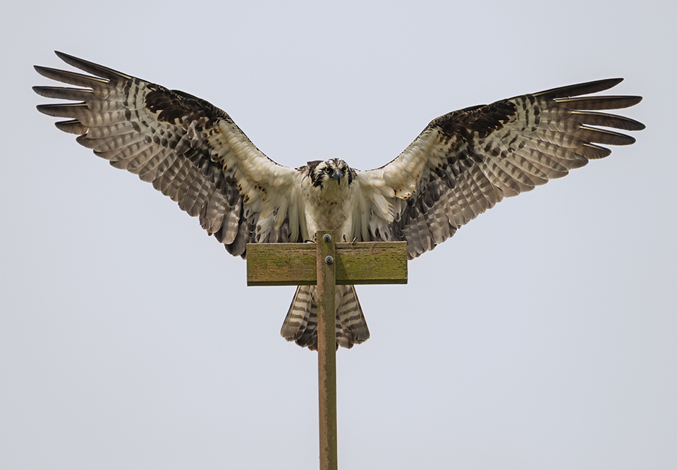 Nailed the Landing  | There are ways to get close to wildlife without disturbing or harming the animals. This shot was taken in a city park where the city had constructed a nesting platform, complete with perches, for the osprey. These birds were very accustomed to having human visitors below their nest. Nikon D800E with Tamron 150-600mm lens, 550mm, f8, 1/3200, ISO 800.