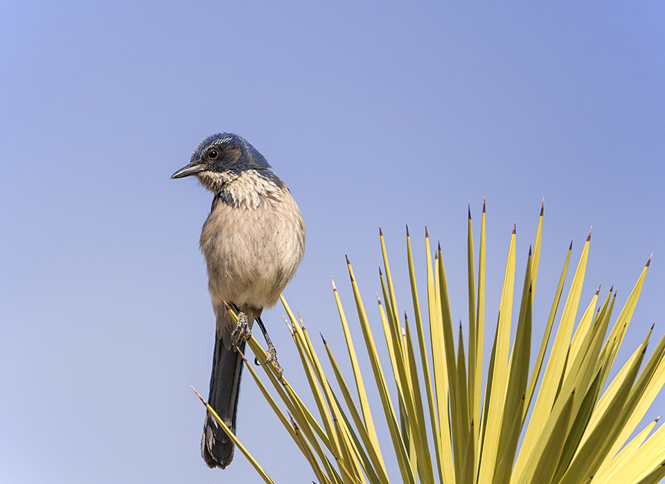 Scrub Jay on a Joshua Tree | On this day, I was hoping to see desert bighorn sheep. I struck out on that account, but the composition of this bird on the spikes of a Joshua tree happens to be one of my favorite photos. D800E with Tamron 150-600mm lens, 550mm, f7.1, 1/3200, ISO 800.