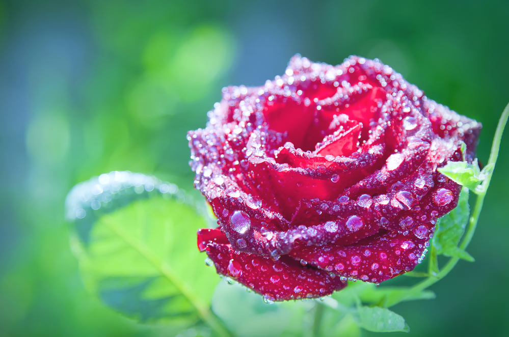 flower red rose with dew drops on a green background, close-up
