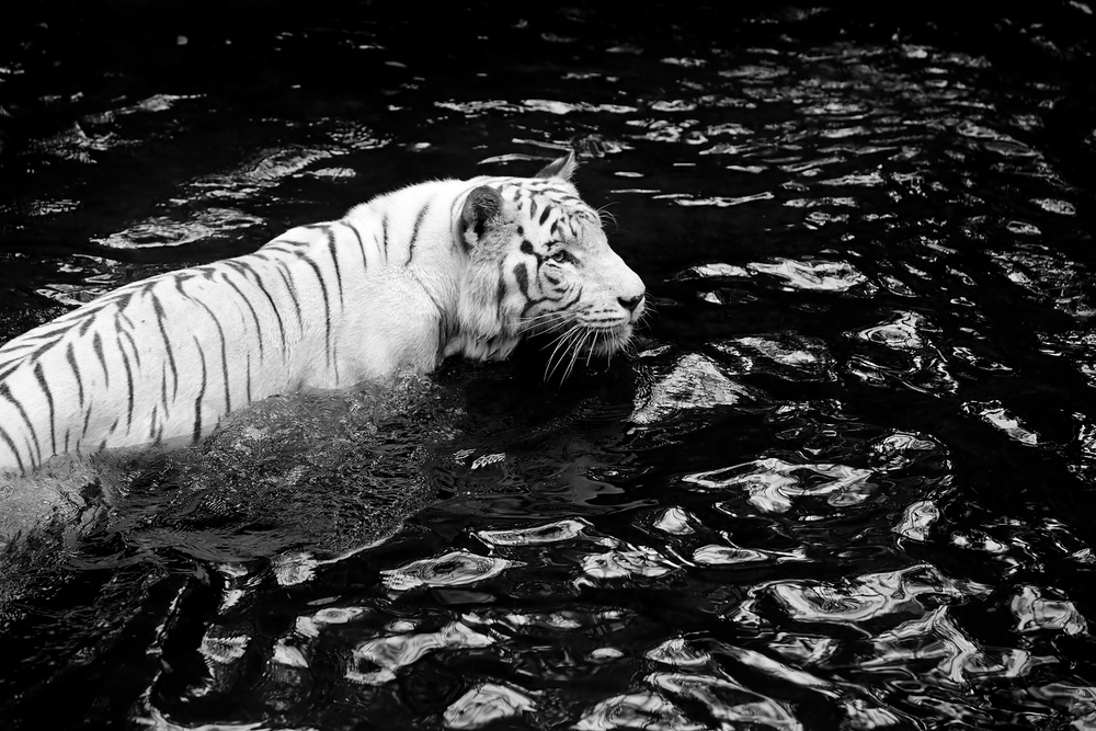 White tiger image via deposit photos